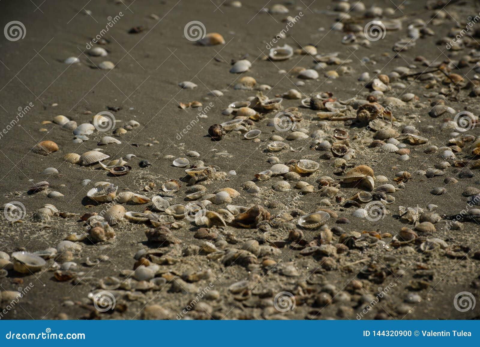 Coquillages dans le sable chez la Mer Noire, Roumanie