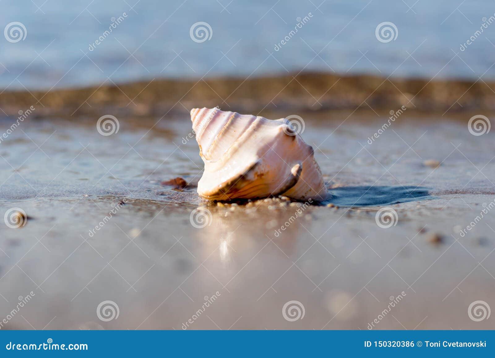 Coquille de conque en sable