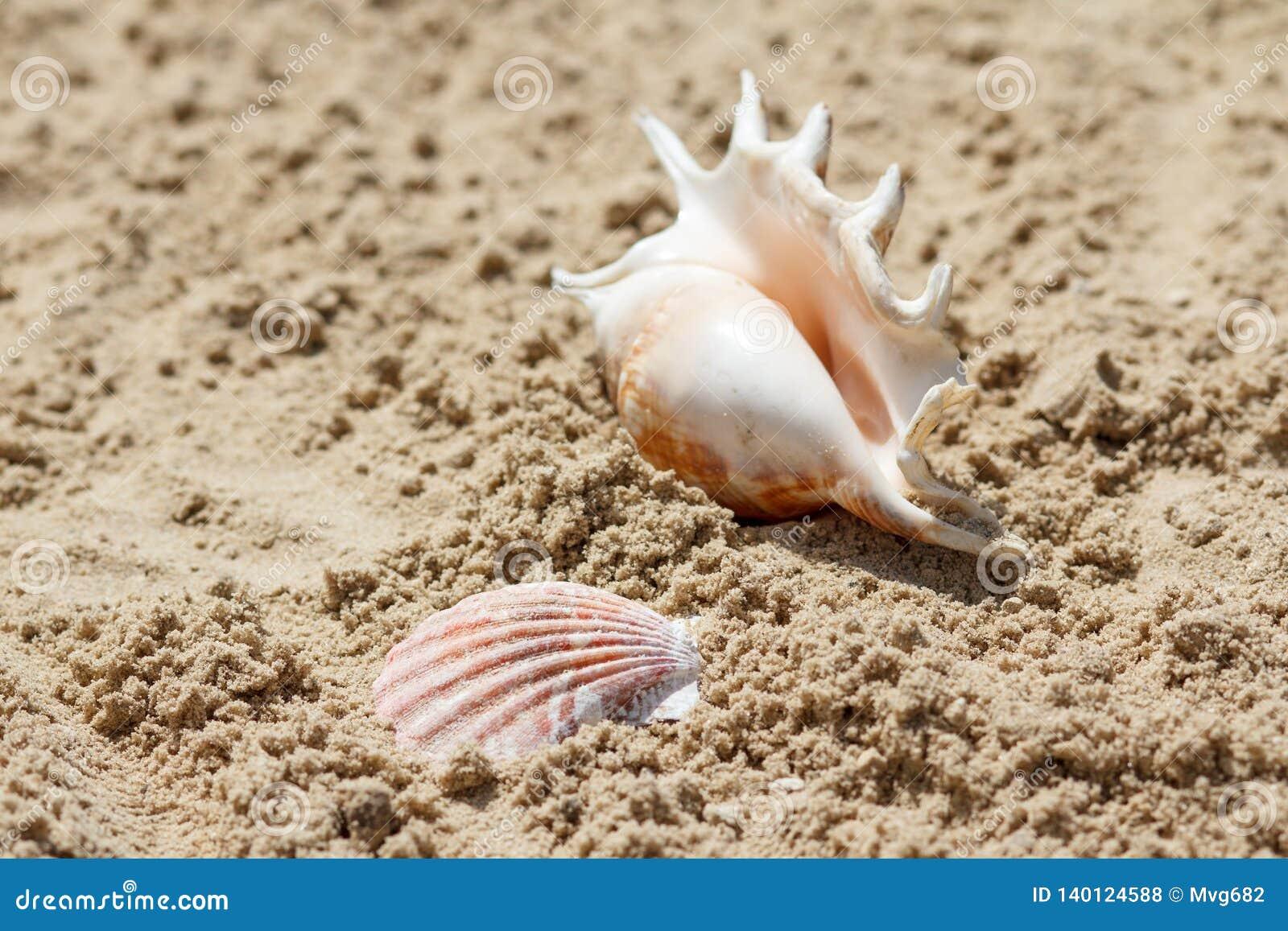 Coquilles de mer avec le sable sur le fond Plage d été Ramassage de Seashell