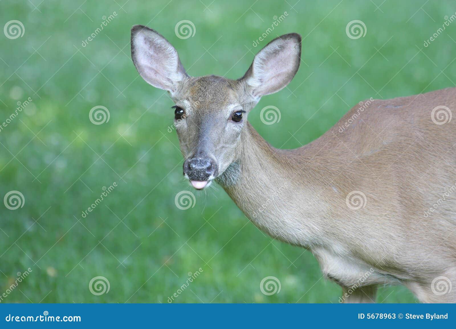 Corça Branco-atada dos cervos