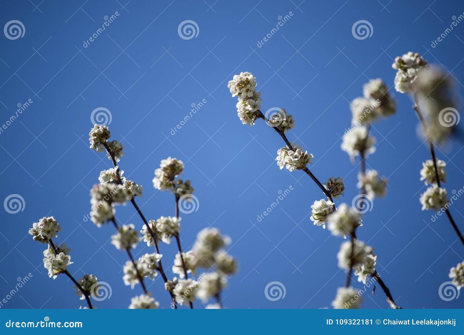 Cor branca de Cherry Blossom