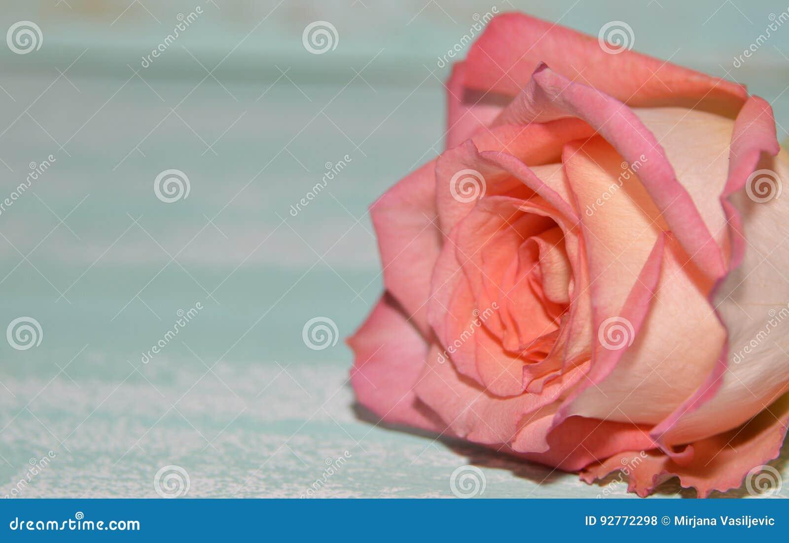 A cor-de-rosa levantou-se no fundo azul