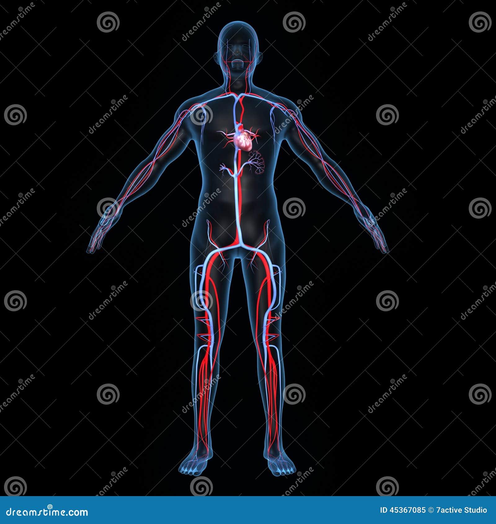 Coração com artérias e veias