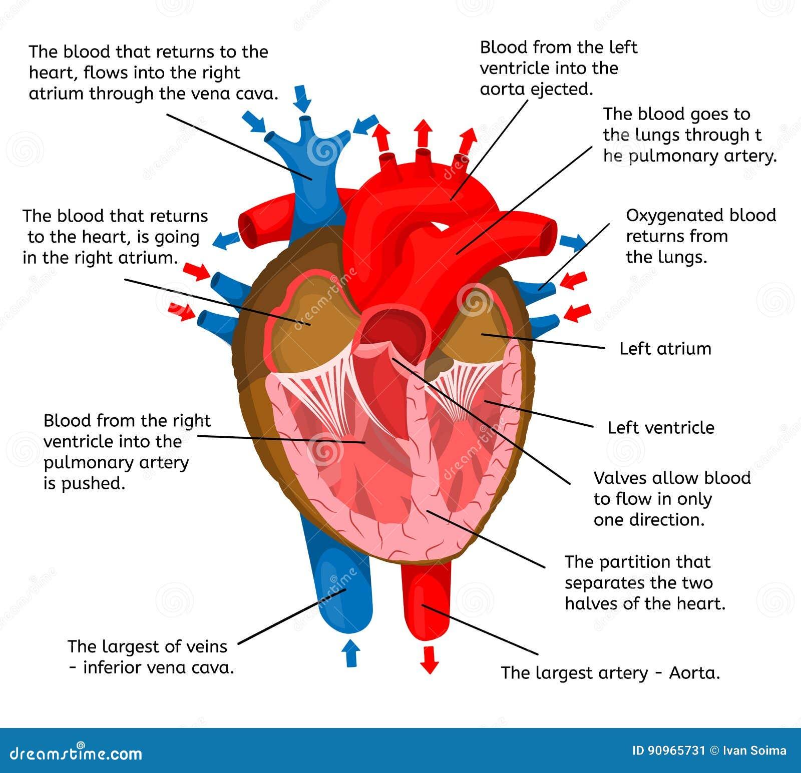 Coração Do Corpo Em Termos Da Estrutura Da Animação Em Uma