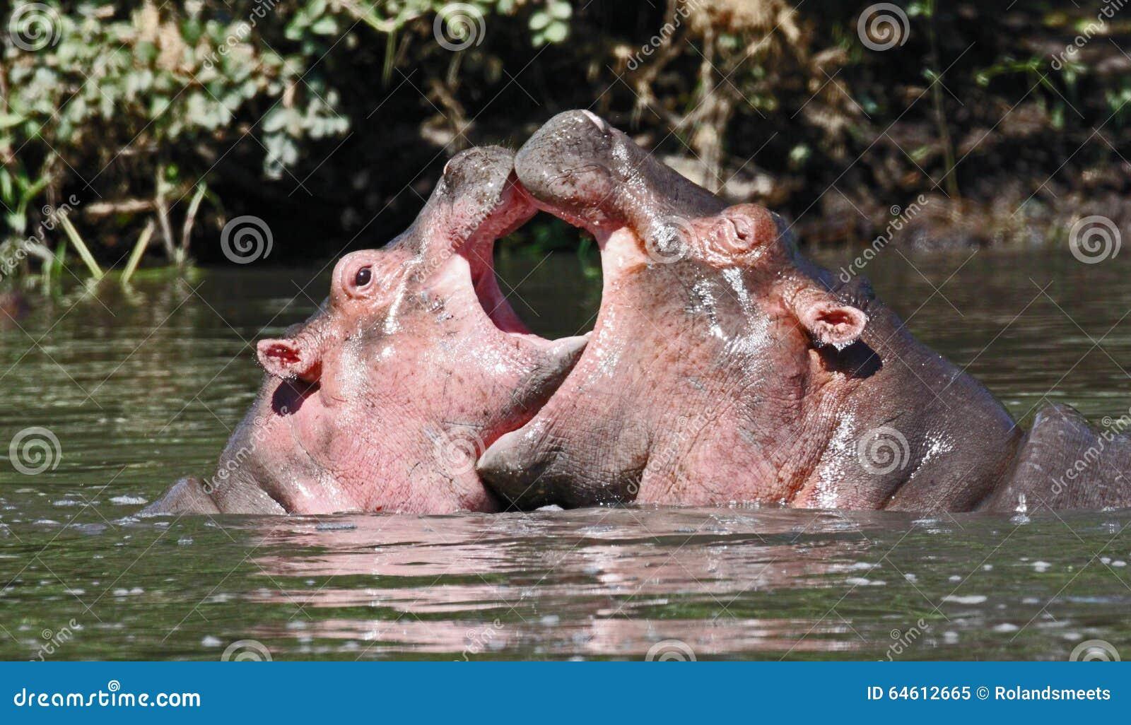 Coração dos hipopótamos