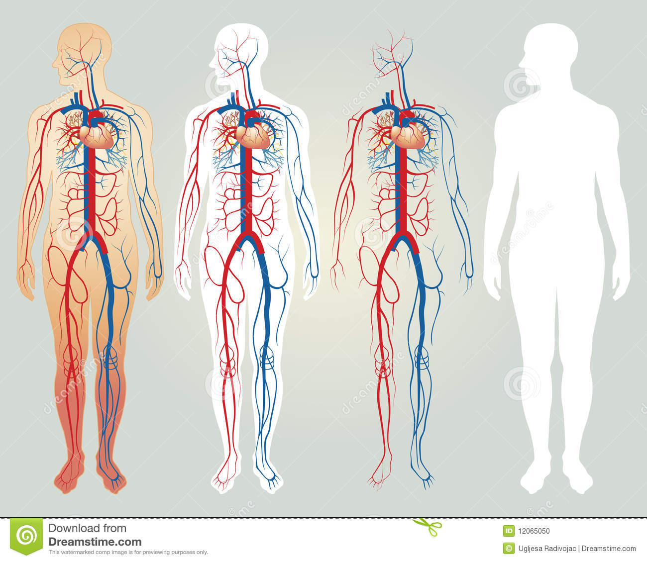 Royalty Free Stock Photos Circulatory System Easy To Edit Vector Illustration Image31172058 furthermore Dear Lungs 354018024 besides Flower Diagram Clip Art moreover Fetal Circulation Simple Diagram as well Draw a diagram of the heart. on easy to draw circulatory system