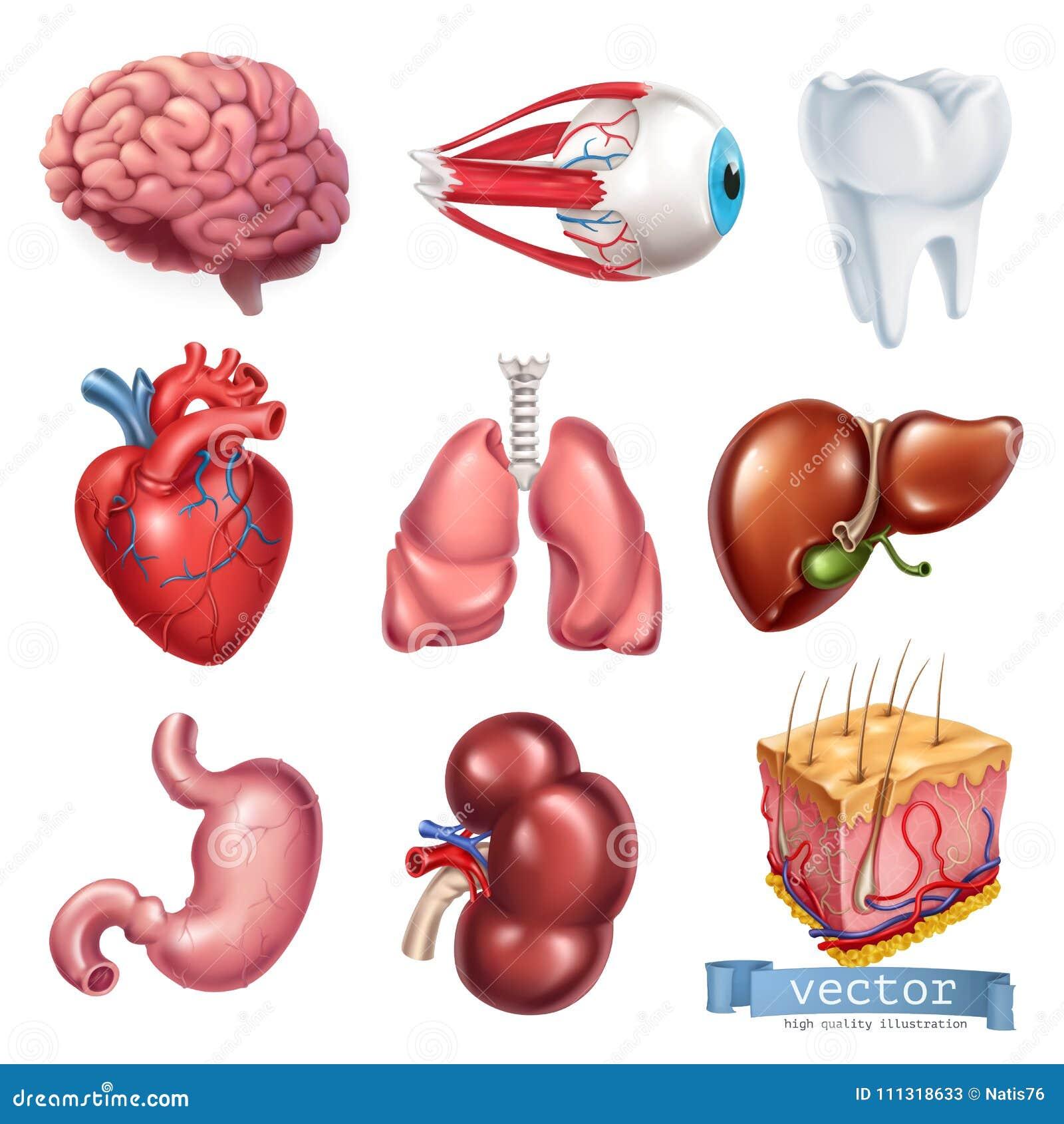 Coração humano, cérebro, olho, dente, pulmões, fígado, estômago, rim, pele grupo do ícone do vetor 3d