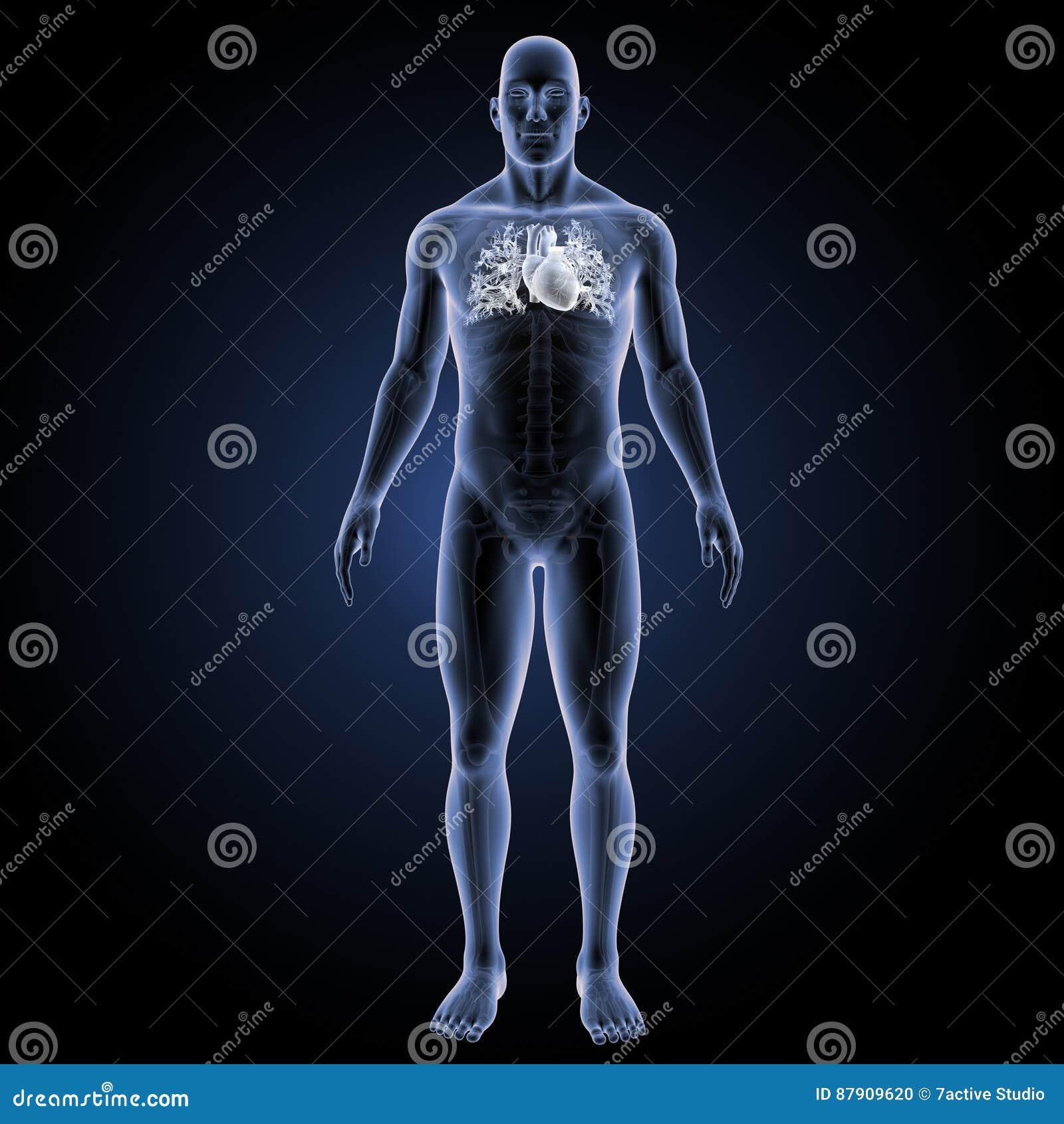 Coração Humano Com Vista Anterior De Esqueleto Foto de Stock ...