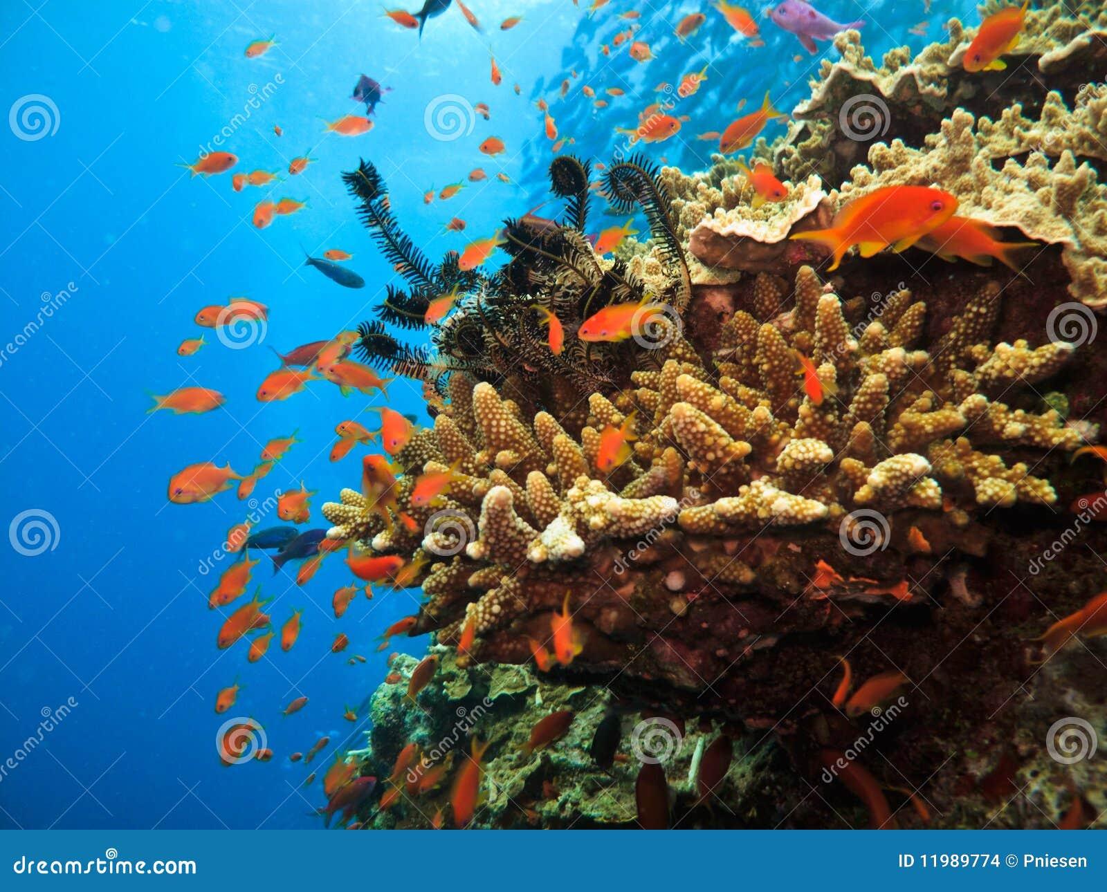 Corail de branchement et poissons de clown sur le récif