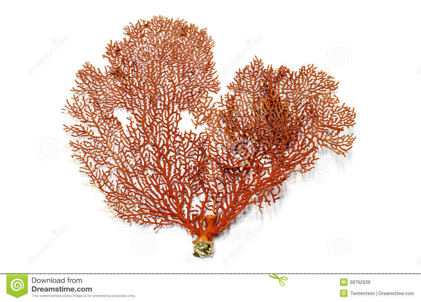 Corail de fan de Gorgonian rouge ou de Mer Rouge