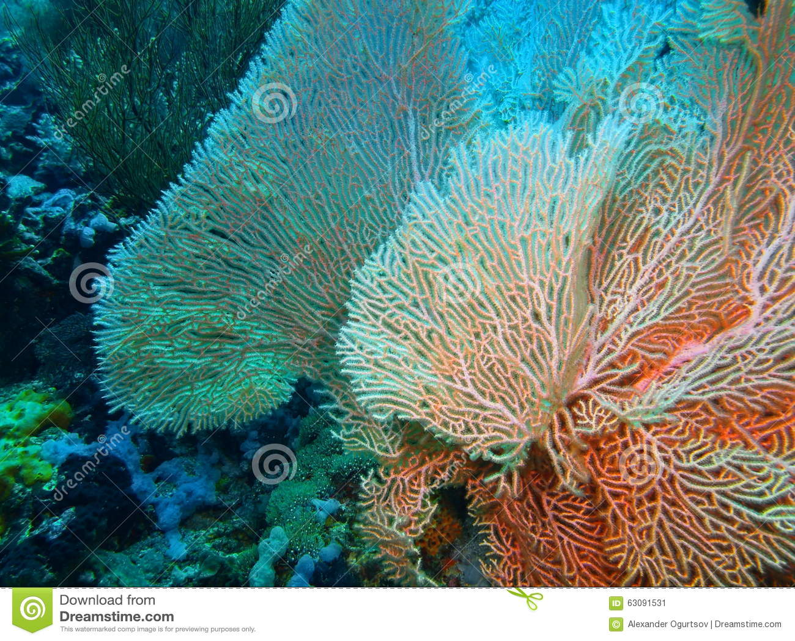 Download Corail de Gorgonian image stock. Image du sous, océan - 63091531