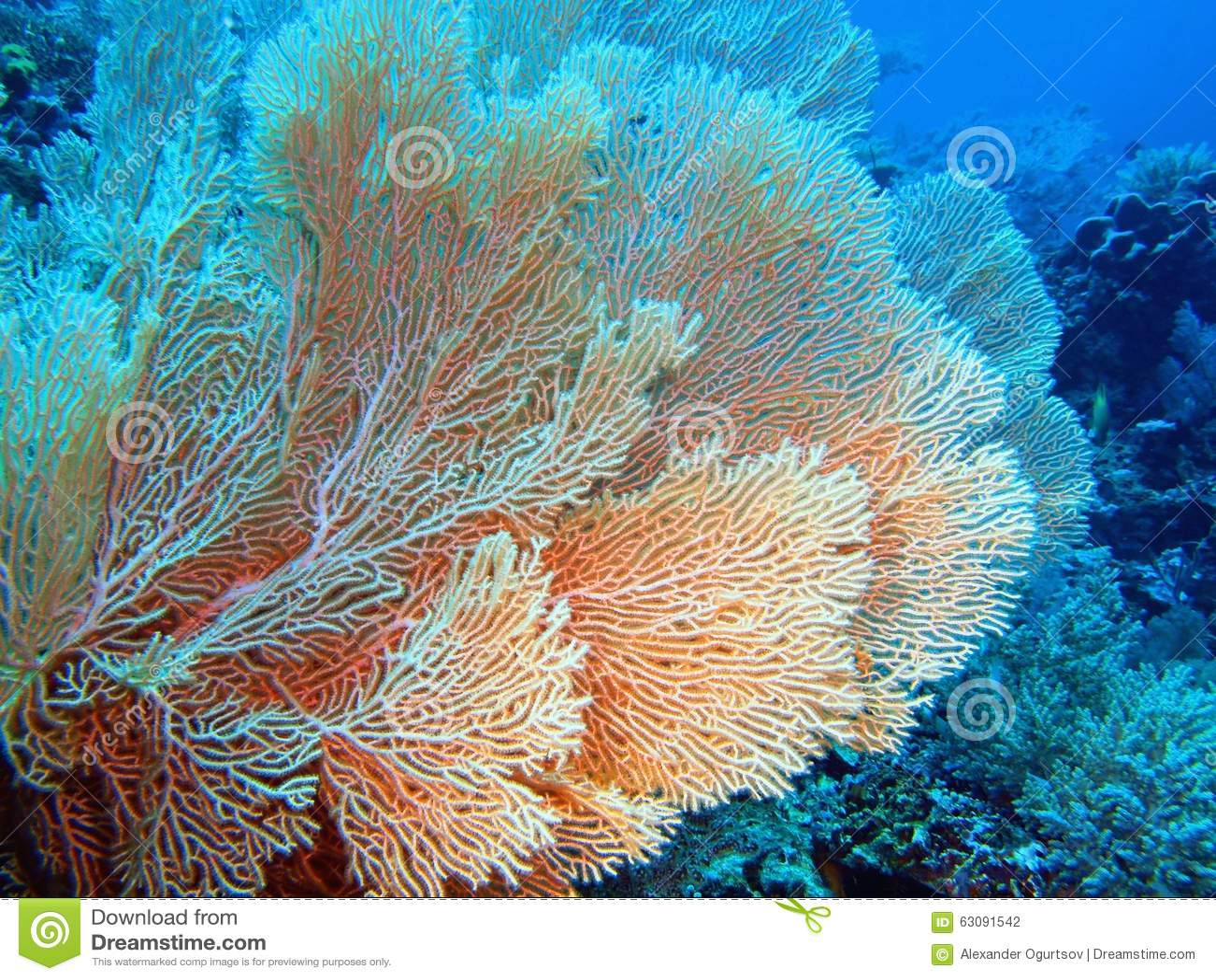 Download Corail de Gorgonian photo stock. Image du monde, animal - 63091542