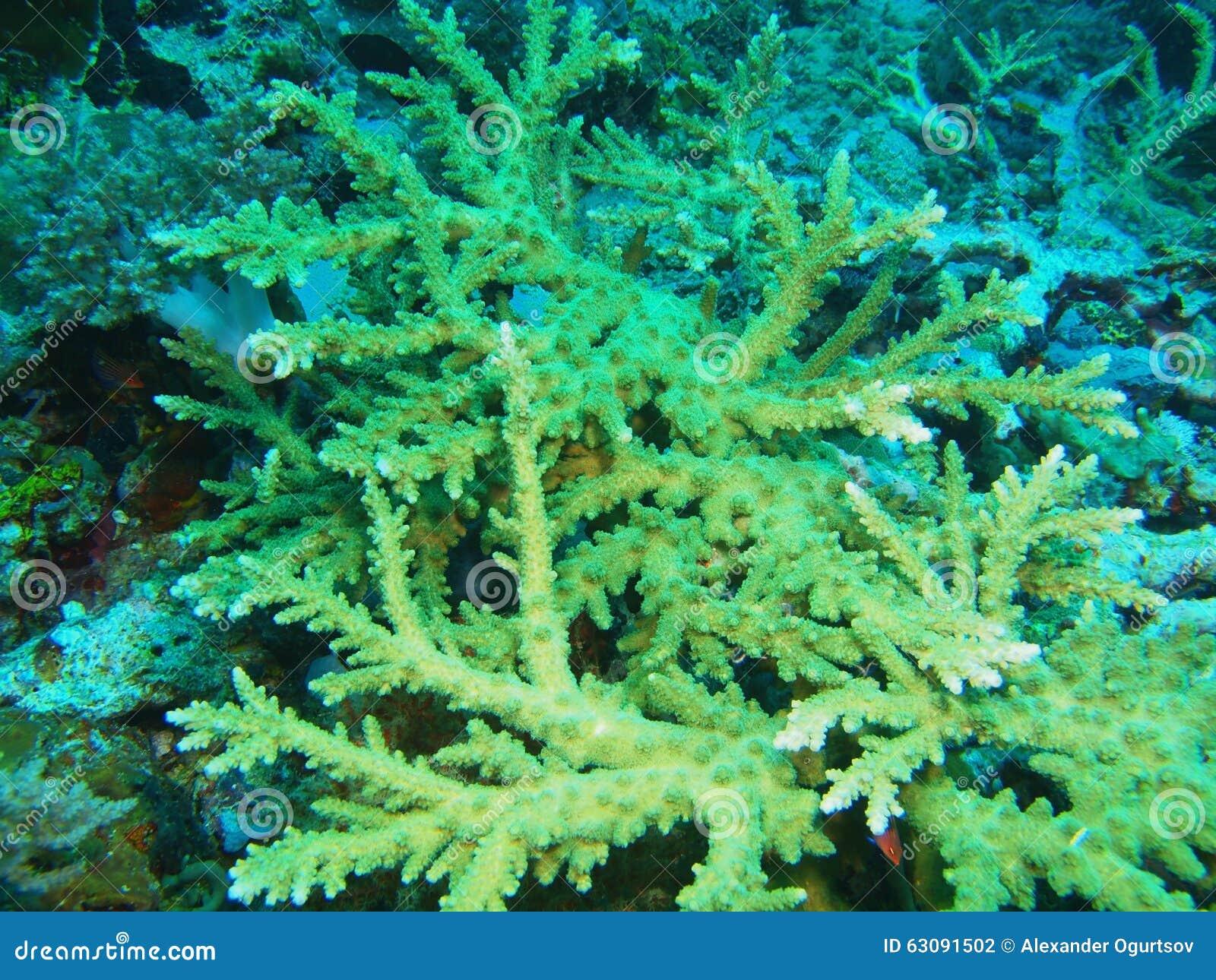 Download Corail en pierre photo stock. Image du animal, marin - 63091502