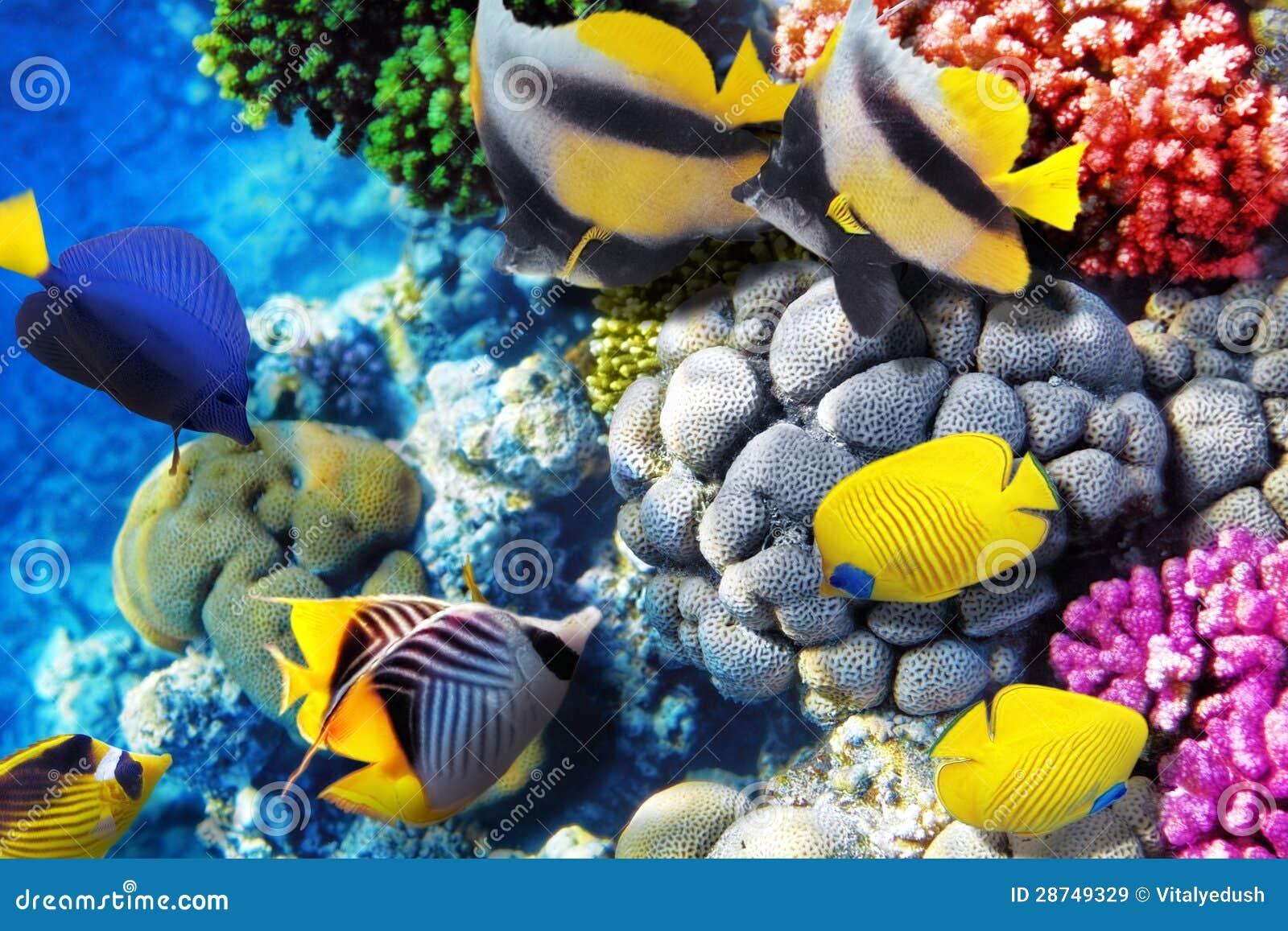 Corail et poissons en mer rouge l 39 egypte afrique images for Achat poisson rouge nice