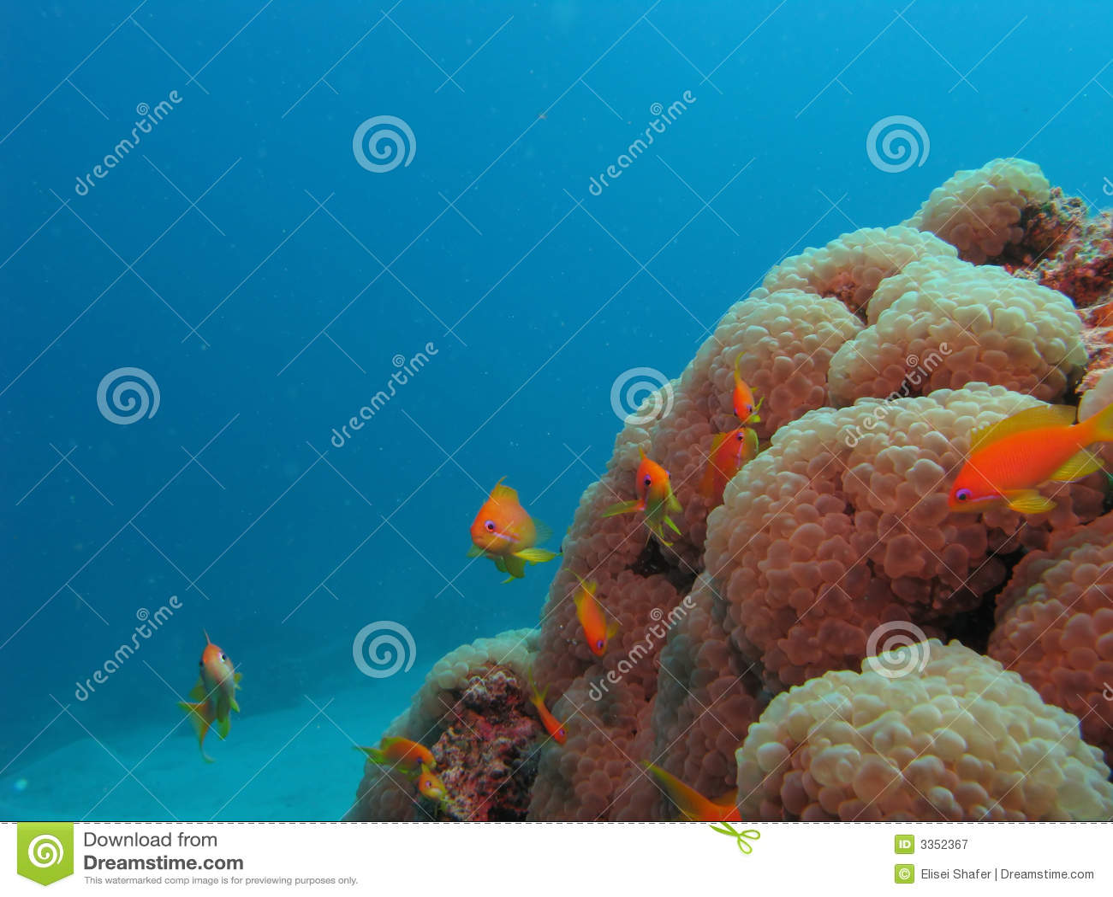 Corais e anthias macios