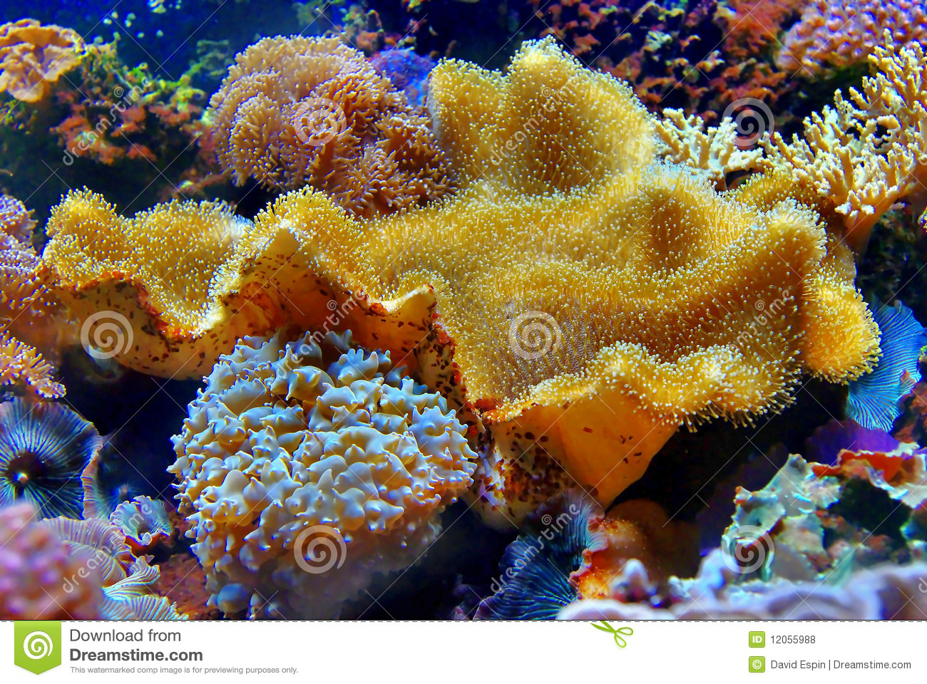 coral alcyoniidae sarcophyton royalty free stock photos image 12055988