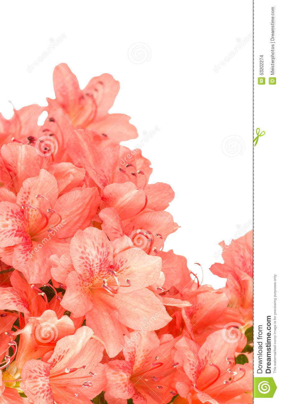 Coral azalea blooms on white stock photo image 53202274 - Rosas color coral ...