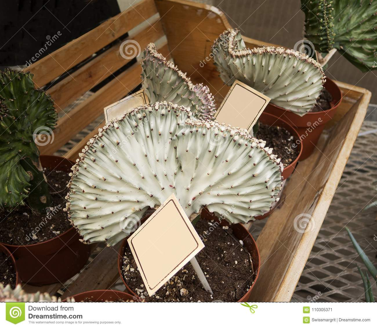 Terrific Coral Cactus On Display On A Bench Stock Image Image Of Caraccident5 Cool Chair Designs And Ideas Caraccident5Info