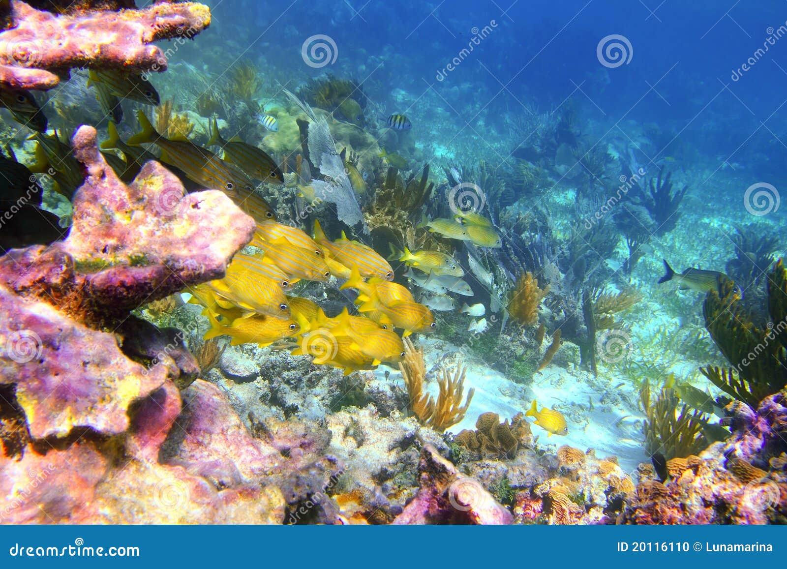 Coral caribbean reef mayan riviera grunt fish stock photo for Caribbean reef fish