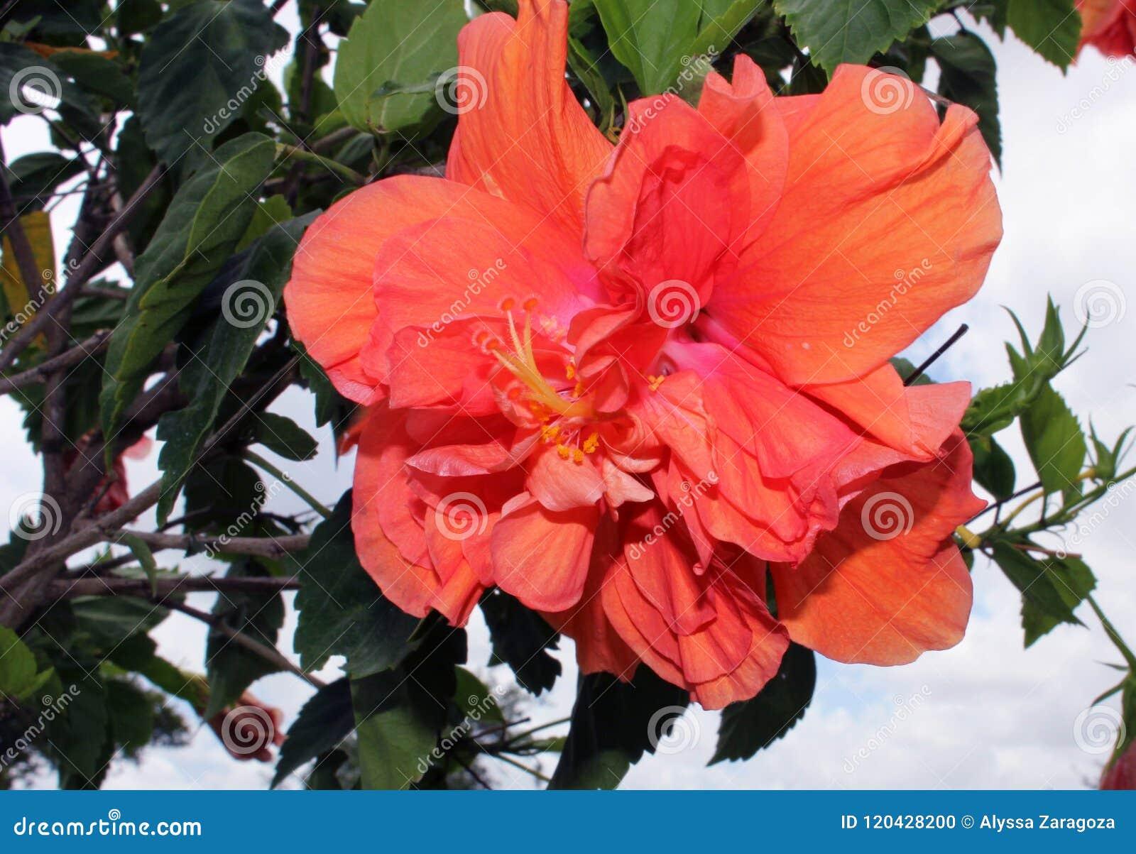 Coral colored hibiscus flower plant stock photo image of foliage coral colored hibiscus flower plant izmirmasajfo
