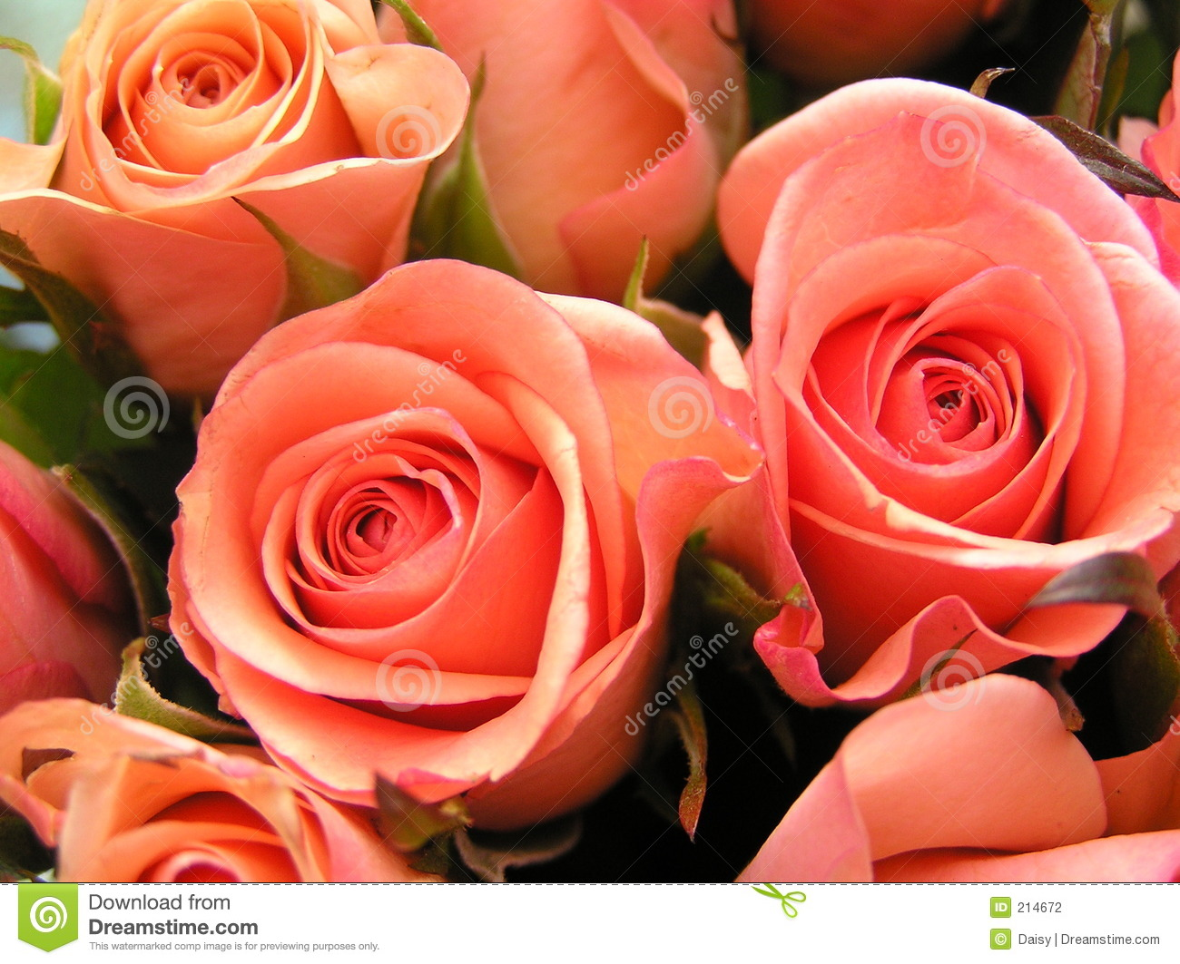 Coral colored roses stock photo. Image of color, wedding - 214672