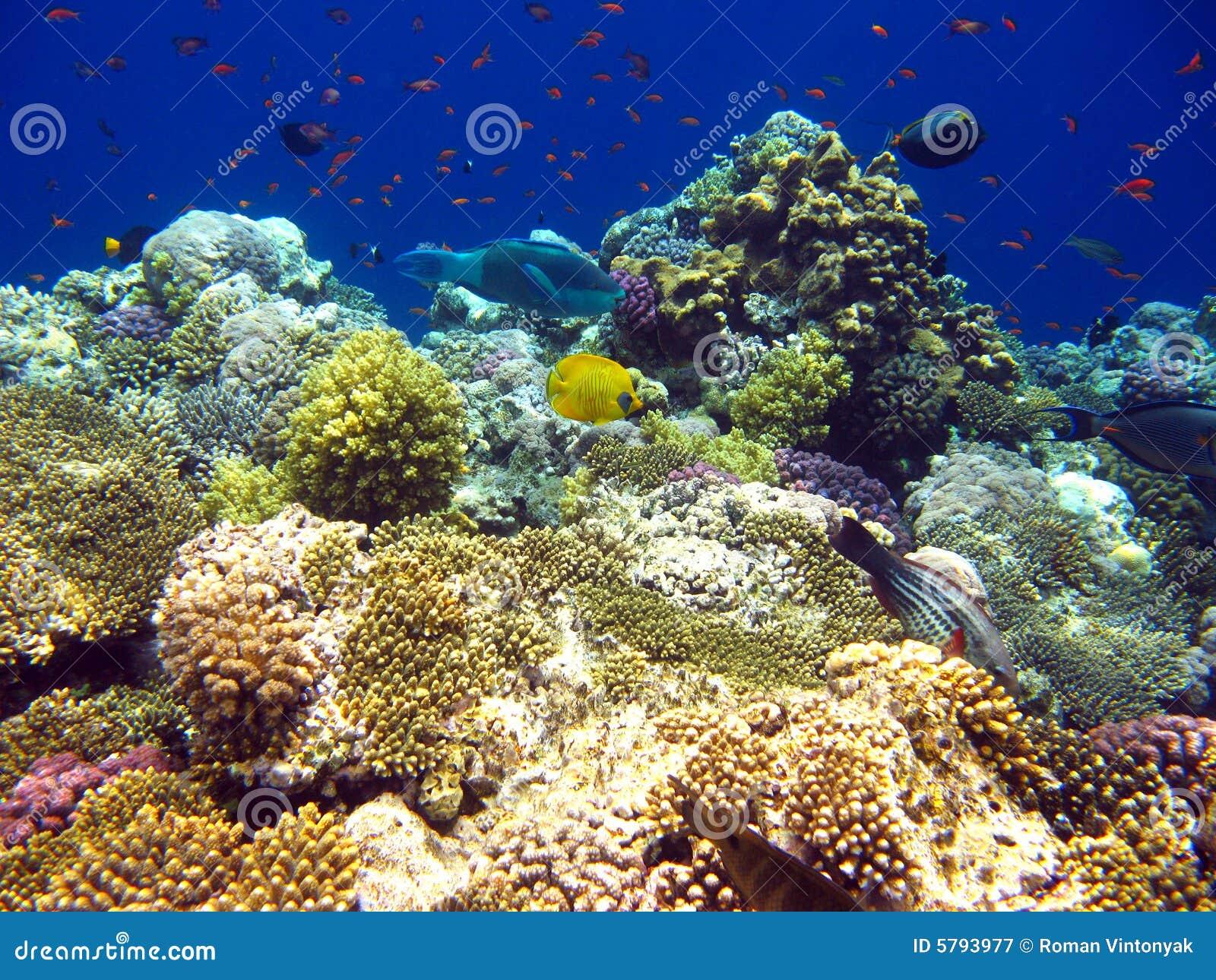 Coral czerwonym tropikalne morza raf