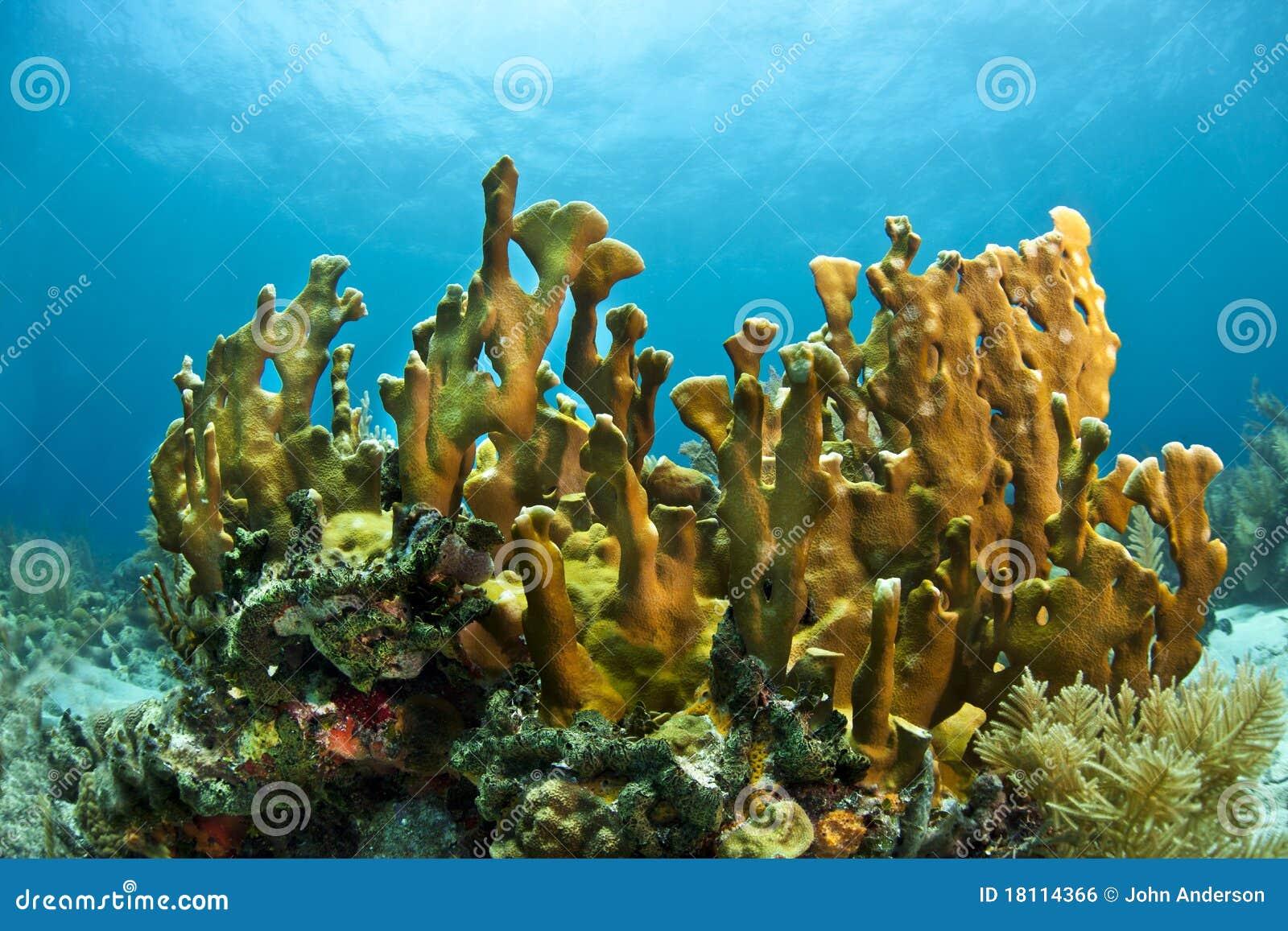 Coral del fuego de la lámina