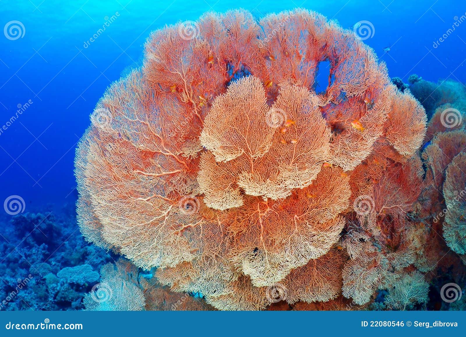 Coral do ventilador de Hickson