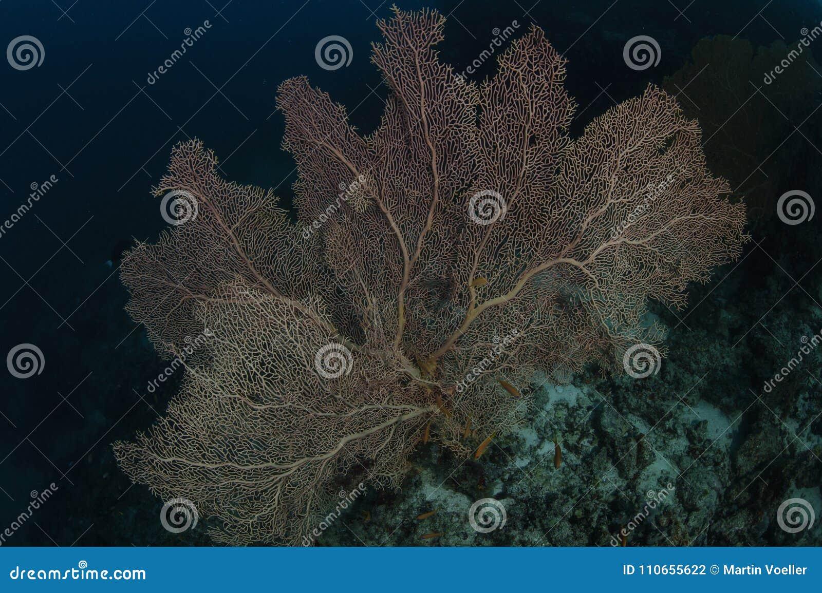 Coral duro vermelho em Maldivas