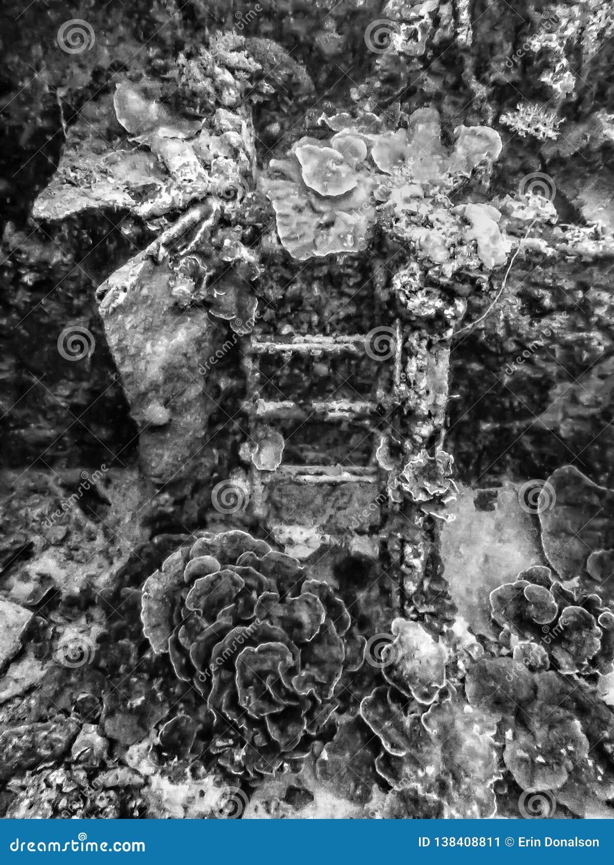 Coral Engulfing Ladder En Noir Et Blanc Sur Le Naufrage De