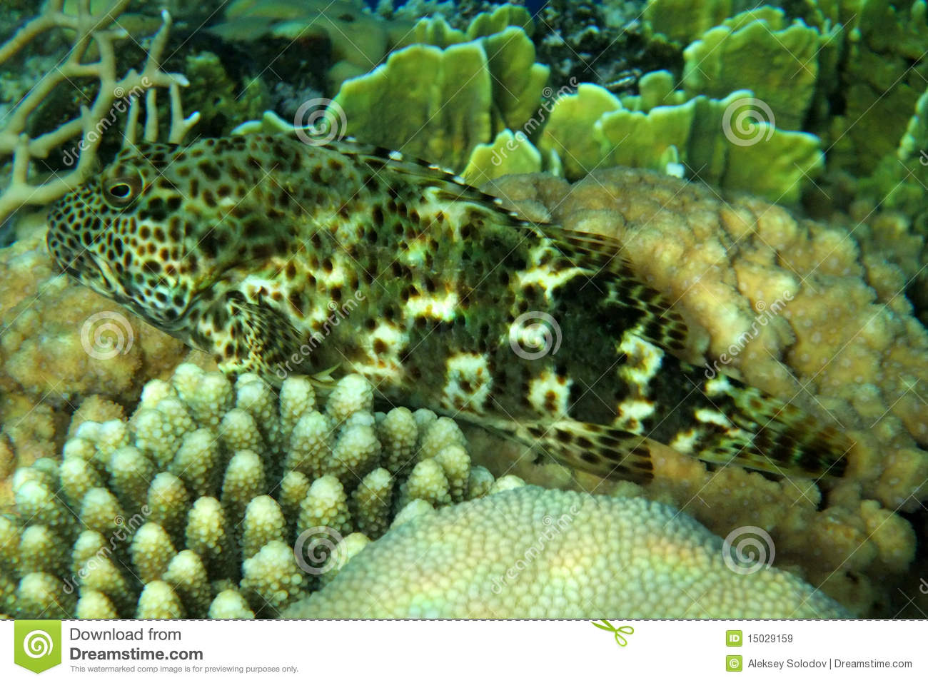 A coral fish in the red sea stock image image 15029159 for Red sea fish
