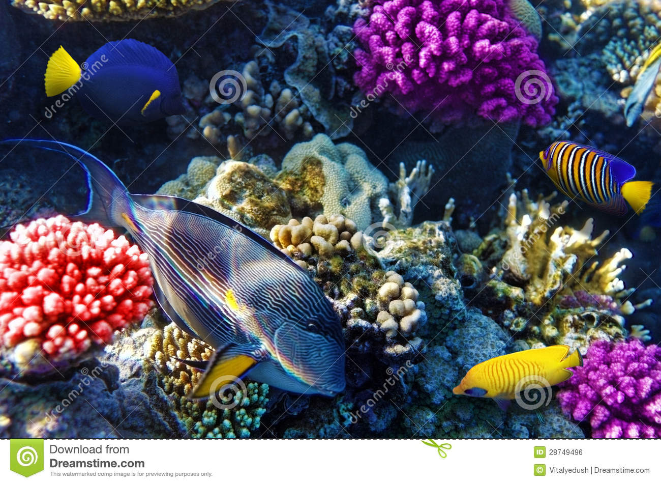 Coral and fish in the red sea royalty free stock image for Red sea fish