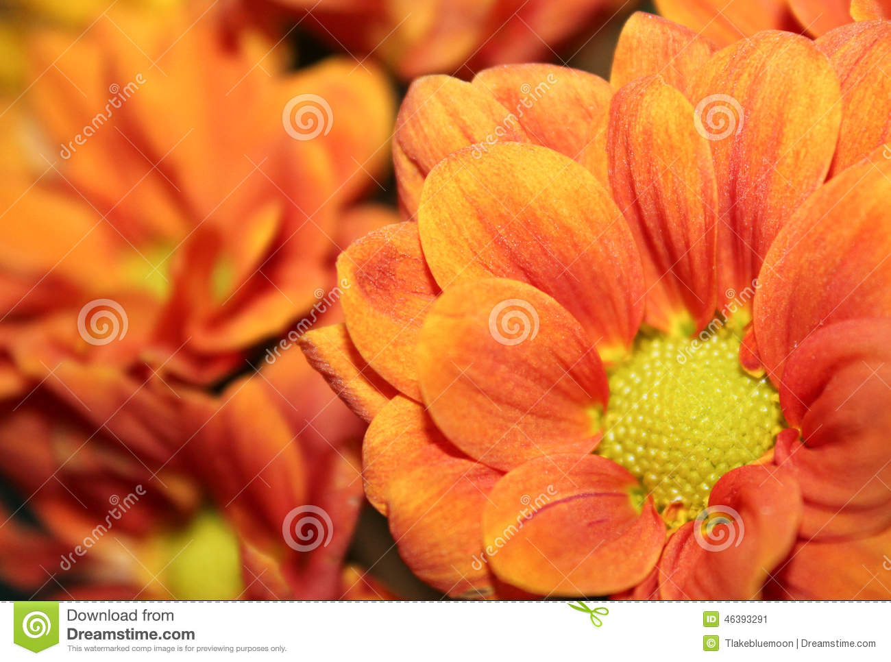 Coral Flower Close Up Stock Image Image Of Thanksgiving 46393291