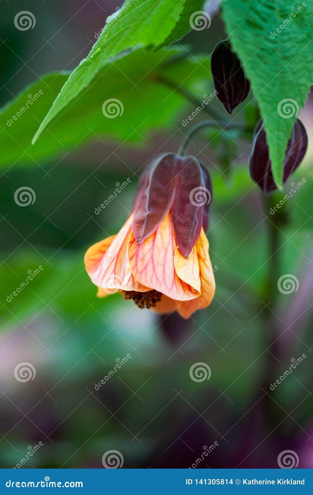 Coral Flowering Maple Bloom met Groene Bladeren