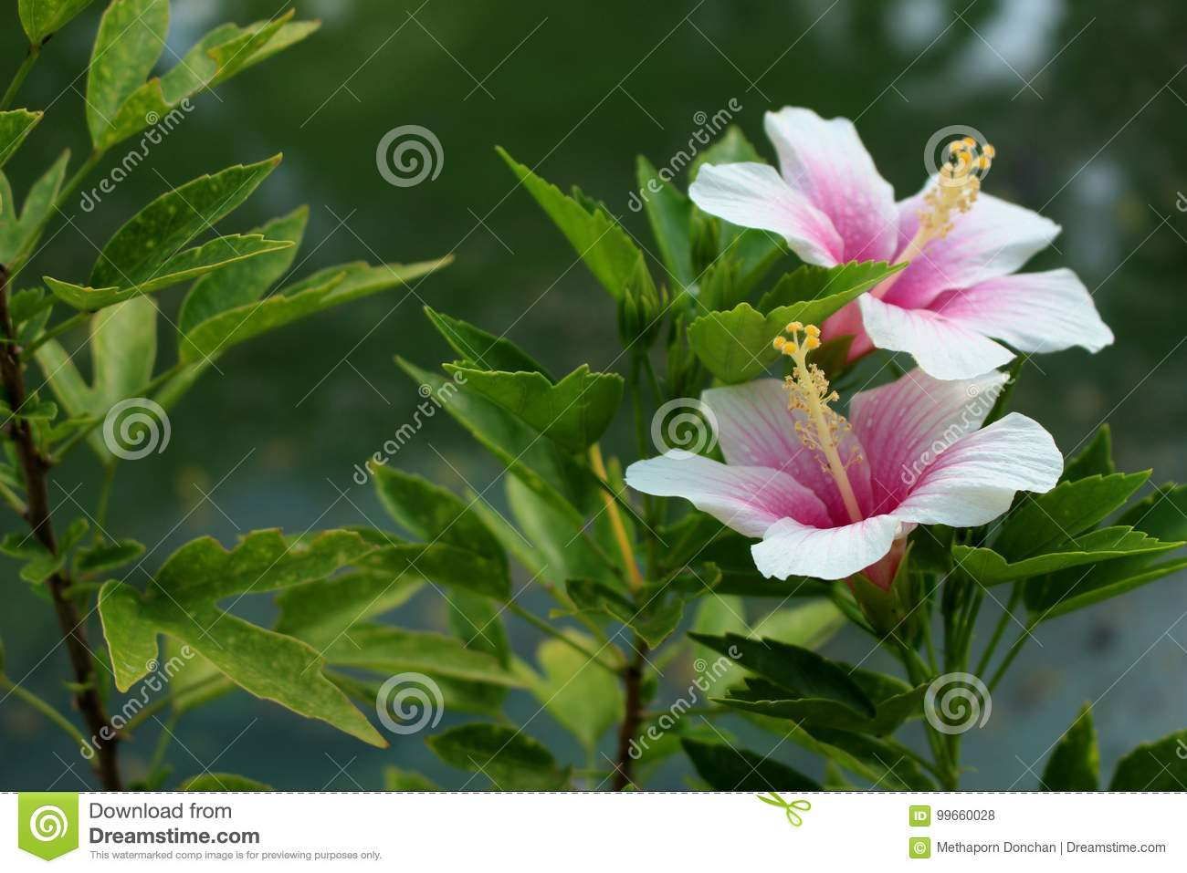 Coral Hibiscus Flower For Background Stock Photo Image Of Tree