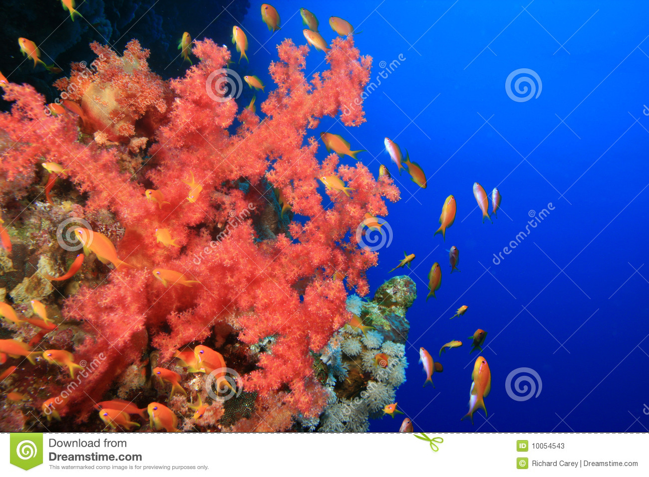 Coral macio e Lyretail Anthias