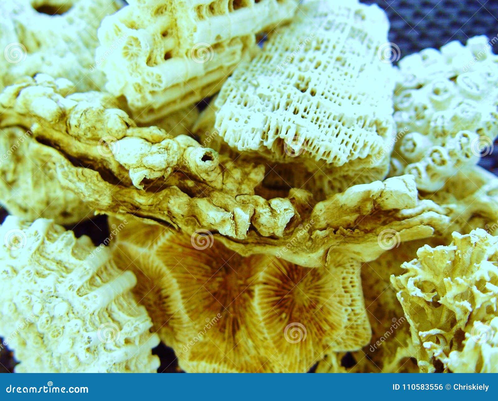 Coral Pieces von nordöstlichem Australien