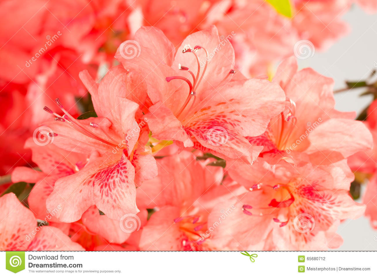 Coral Pink Azalea Flowers Stock Photo Image Of Horticulture 65680712