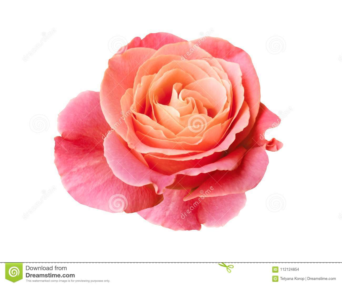 Coral Pink Rose Isolated On White Background Stock Photo Image Of