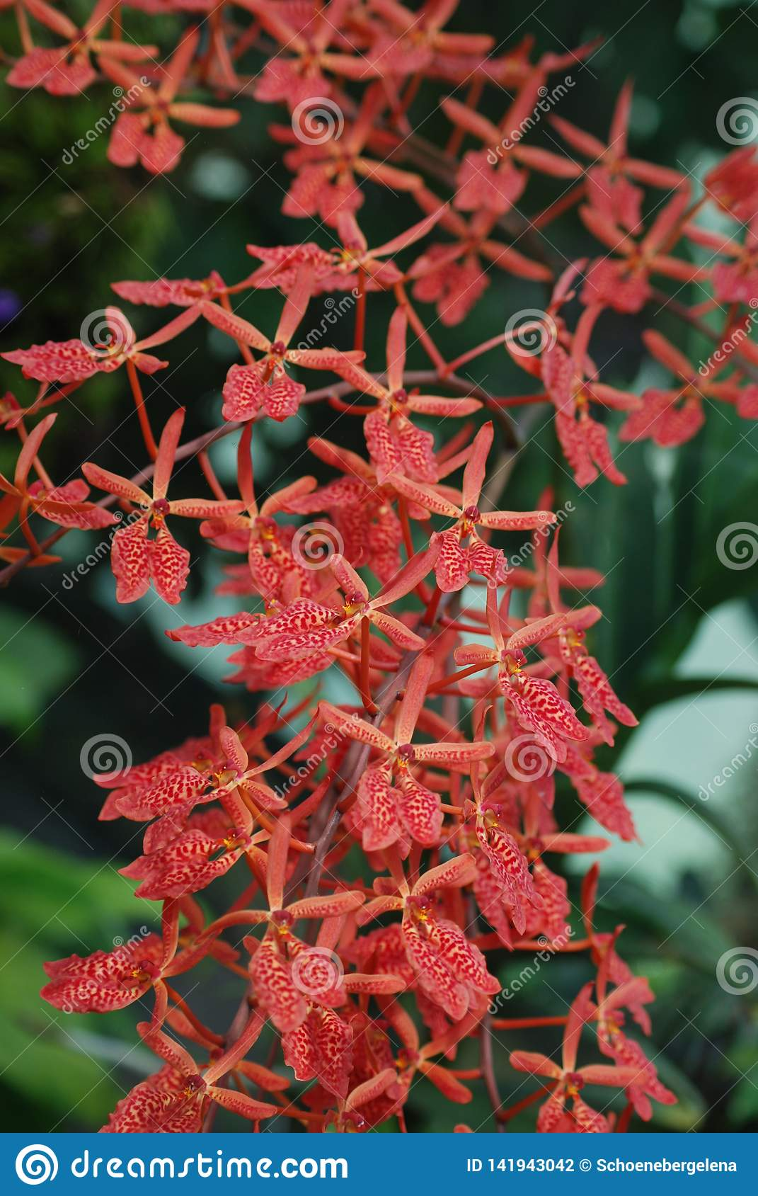 Coral Red Orchid Blooms - Feng Shui Plants