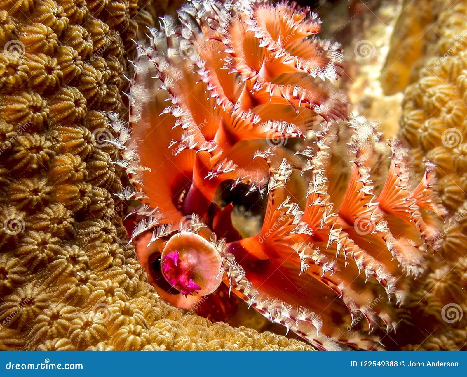 Christmas Tree Worm.Christmas Tree Worm Stock Photo Image Of Christmas 122549388