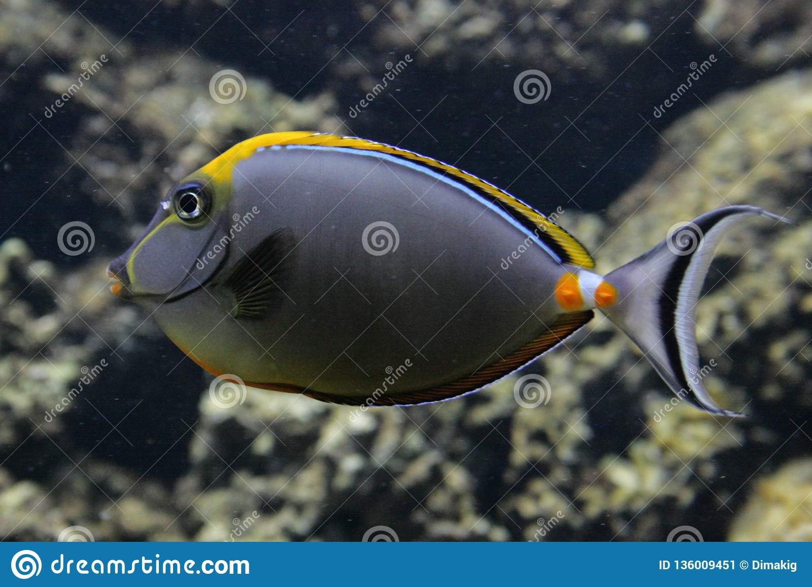 Coral reef fish close up. Animals of the ocean and sea. Marine life of Europe.