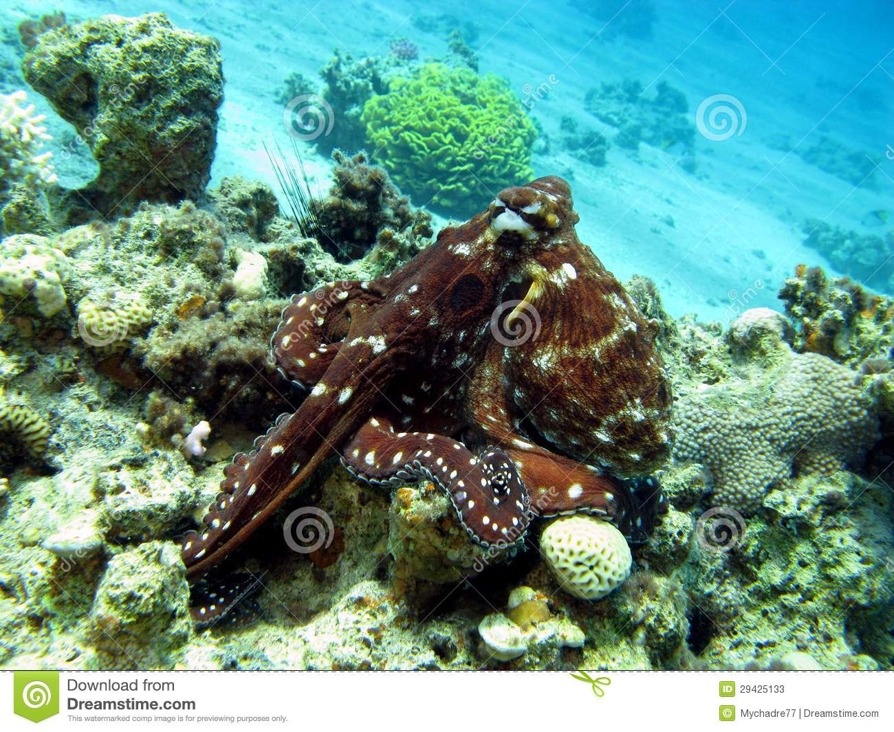 Coral Reef With Octopus At The Bottom Of Tropical Sea ...