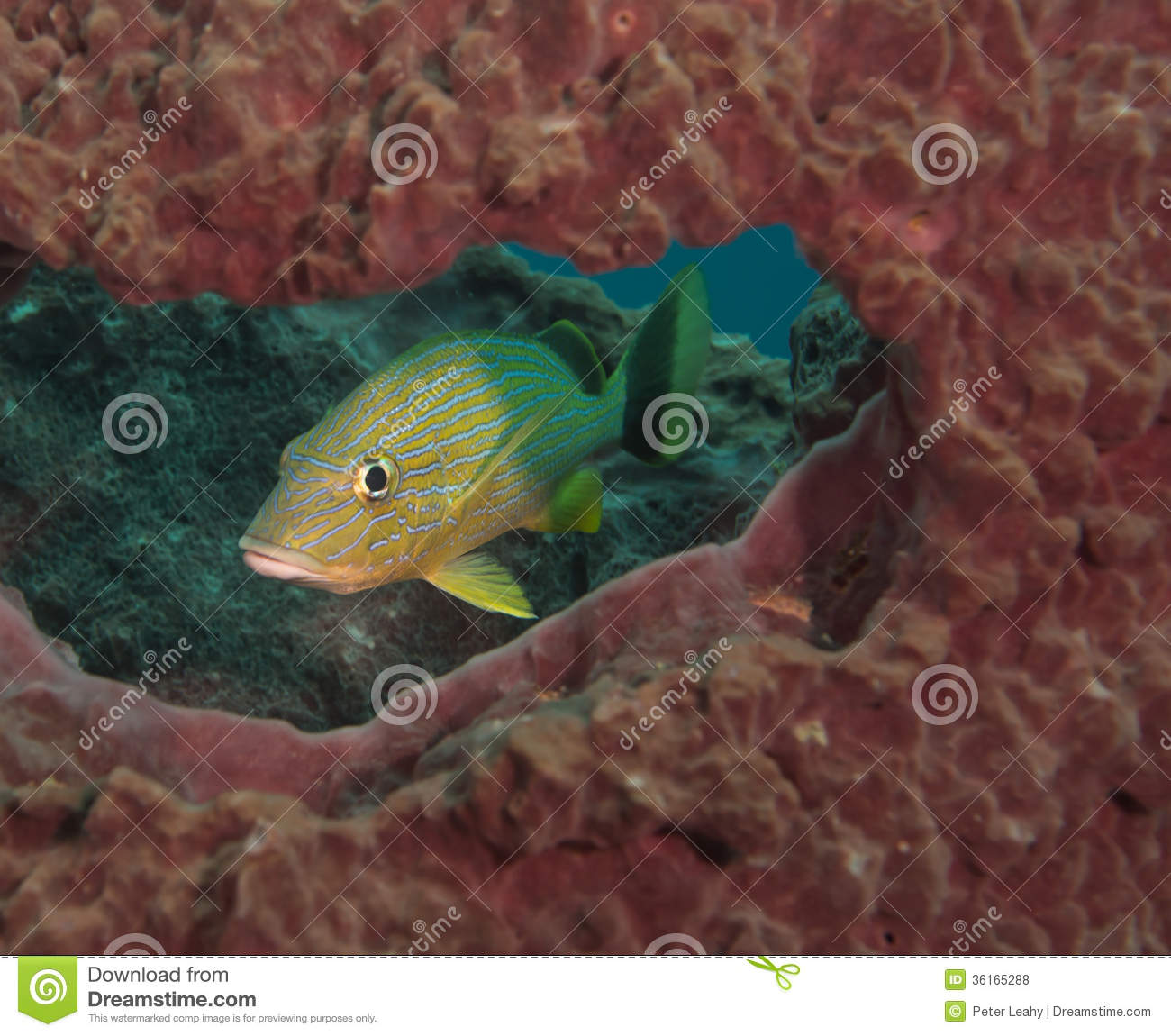 On a coral reef in south florida royalty free stock photos for Blue fish florida