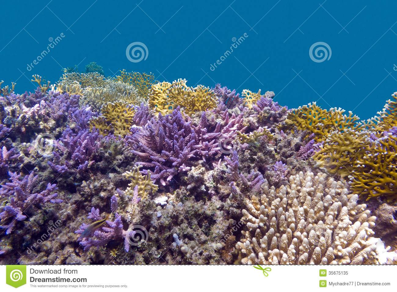coral reel at the bottom of tropical sea with violet