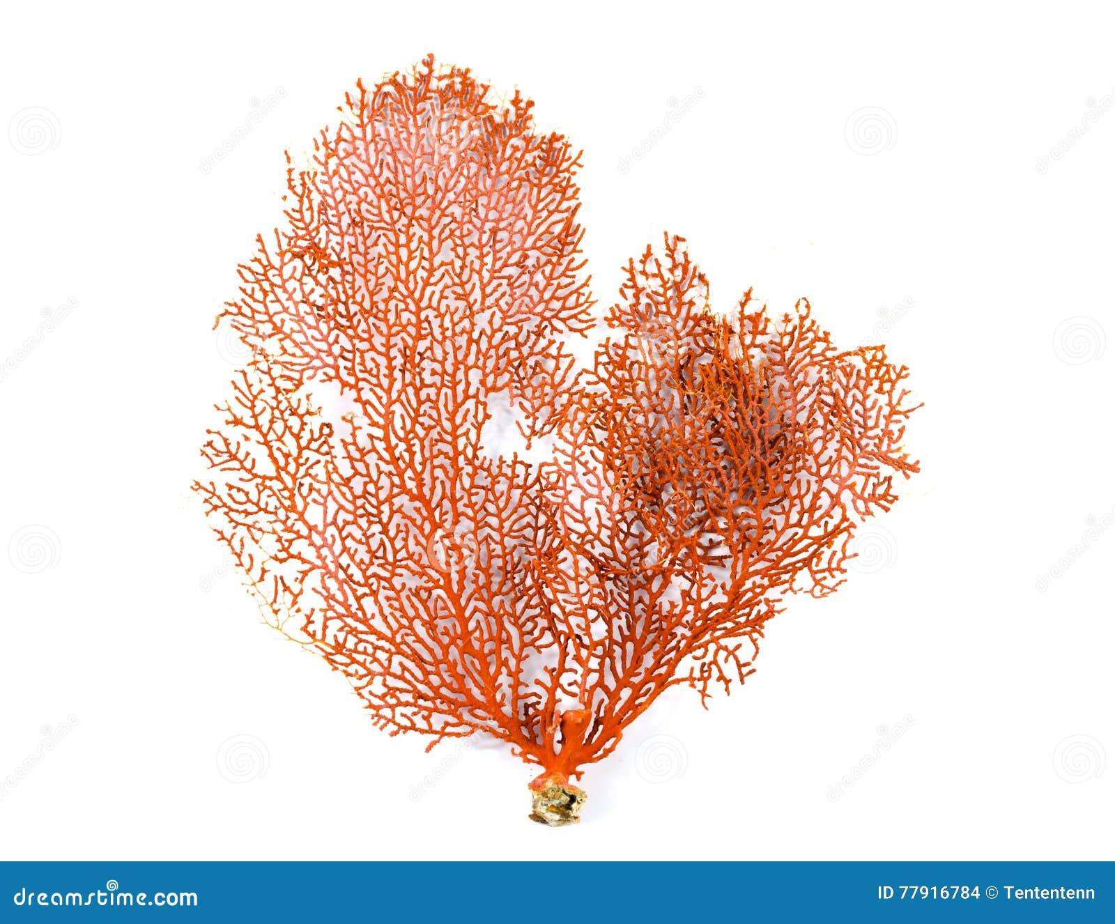 Coral rojo de la fan de Gorgonian o de Mar Rojo aislado en el fondo blanco