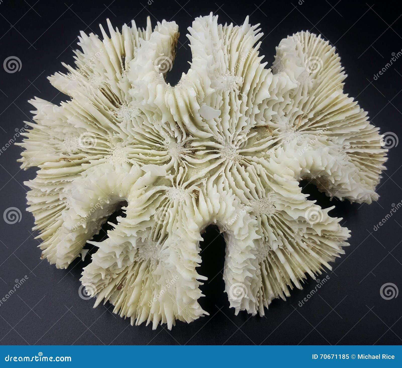 coral skeleton blanche photo stock image 70671185. Black Bedroom Furniture Sets. Home Design Ideas