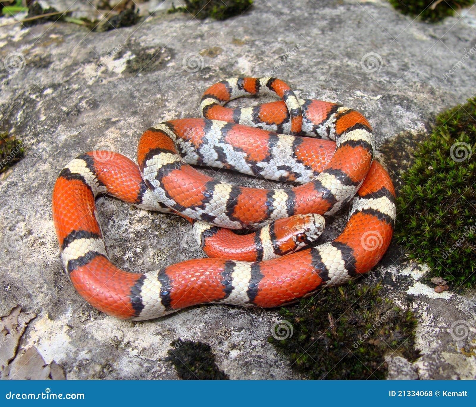 Coral Snake Mimic Royalty Free Stock Photos