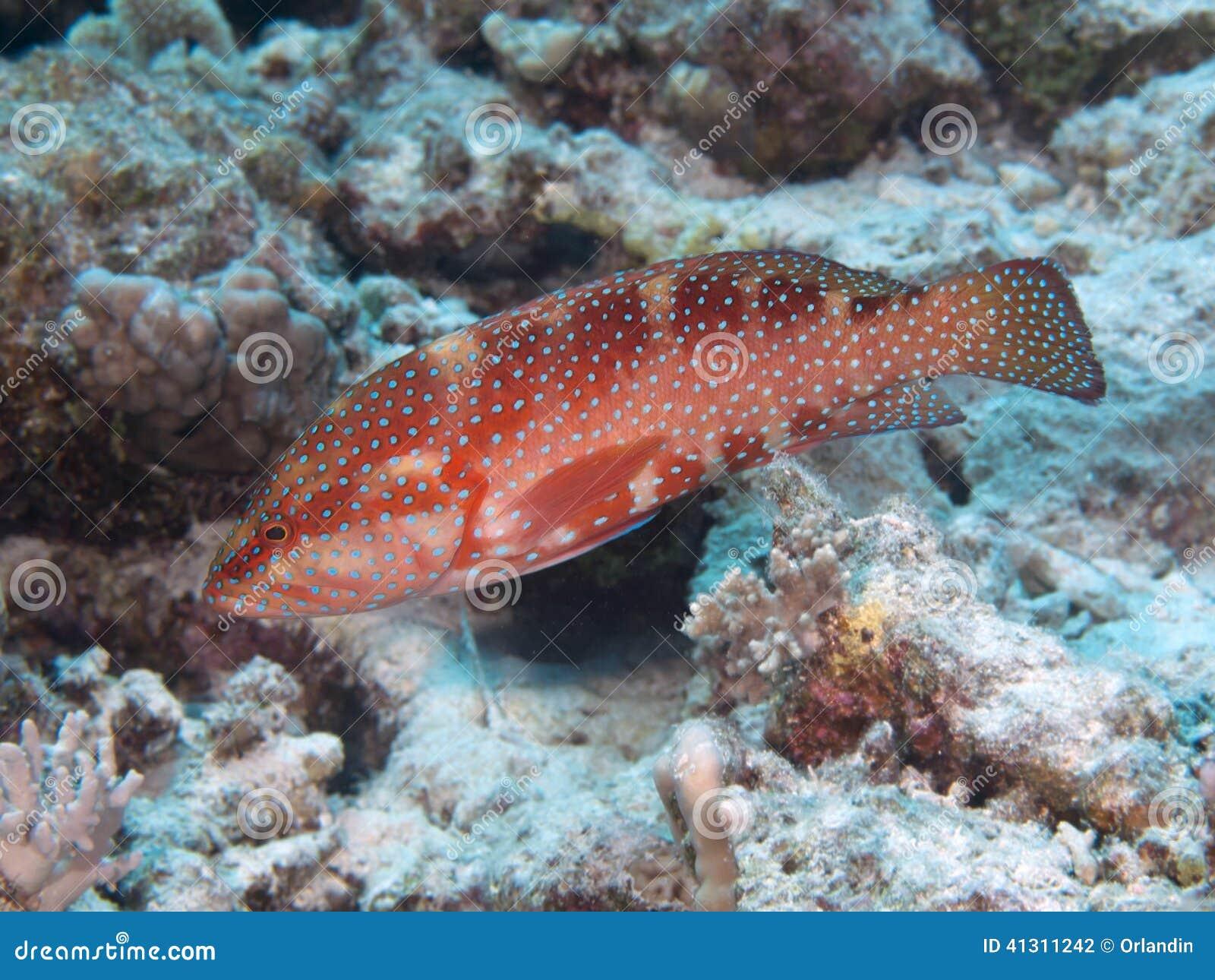 Coral trasero