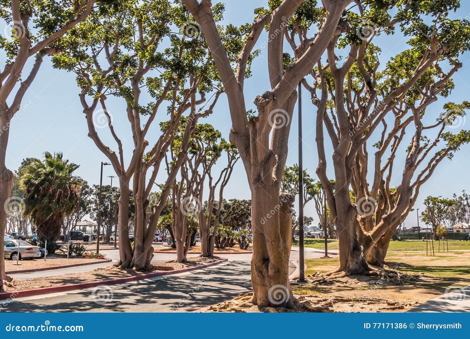 Coral Trees på Embarcadero parkerar söder i San Diego